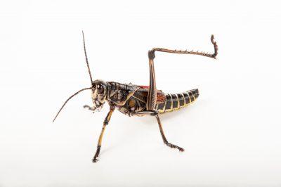An eastern lubber grasshopper (Romalea guttata) at the Audubon Zoo in New Orleans.