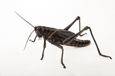 An eastern lubber grasshopper (Romalea guttata) at the Audubon Zoo in New Orleans.