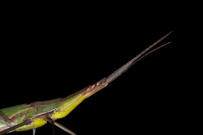 A grasshopper in the genus Acrida; it is a true grasshopper (family Acrididae), collected in the Mt. Gorongosa range.