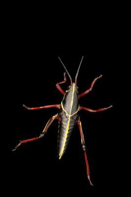 The juvenile phase of the lubber grasshopper, Romalea guttata.
