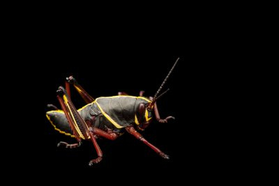 The juvenile phase of the lubber grasshopper, Romalea guttata.