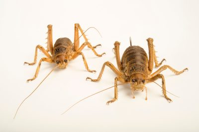 Photo: Cook Strait giant weta insects (Deinacrida rugosa) at Zealandia, a wildlife preserve in Wellington.