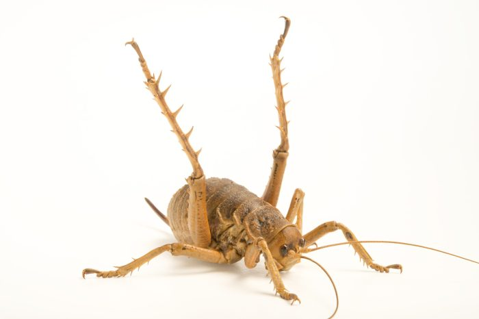 Photo: Cook Strait giant weta (Deinacrida rugosa) at Zealandia, a wildlife preserve in Wellington.