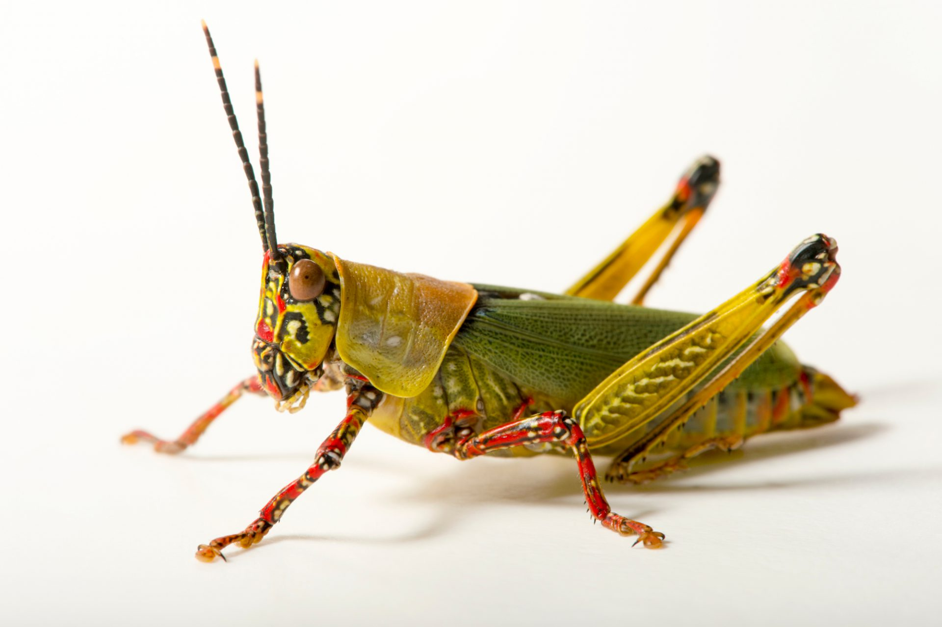 Photo: Variegated grasshopper (Zonocerus variegatus) at the Budapest Zoo.