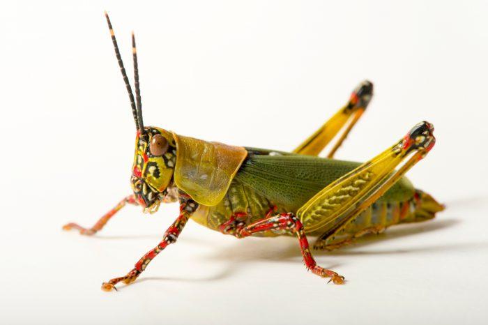 Photo: Variegated grasshopper (Zonocerus variegatus) at the Budapest Zoo.