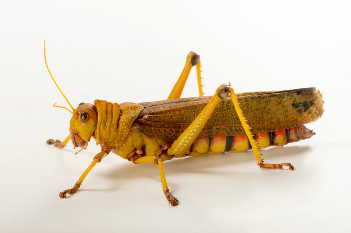 Photo: South American giant grasshopper (Tropidacris collaris) at the Budapest Zoo.