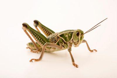 Photo: A male lubber grasshopper (Brachystola magna) at Cedar Point Biological Station.