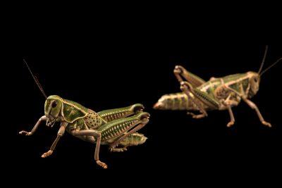 Photo: Plains lubber grasshopper (Brachystola magna), male (left) and female, at Cedar Point Biological Station.