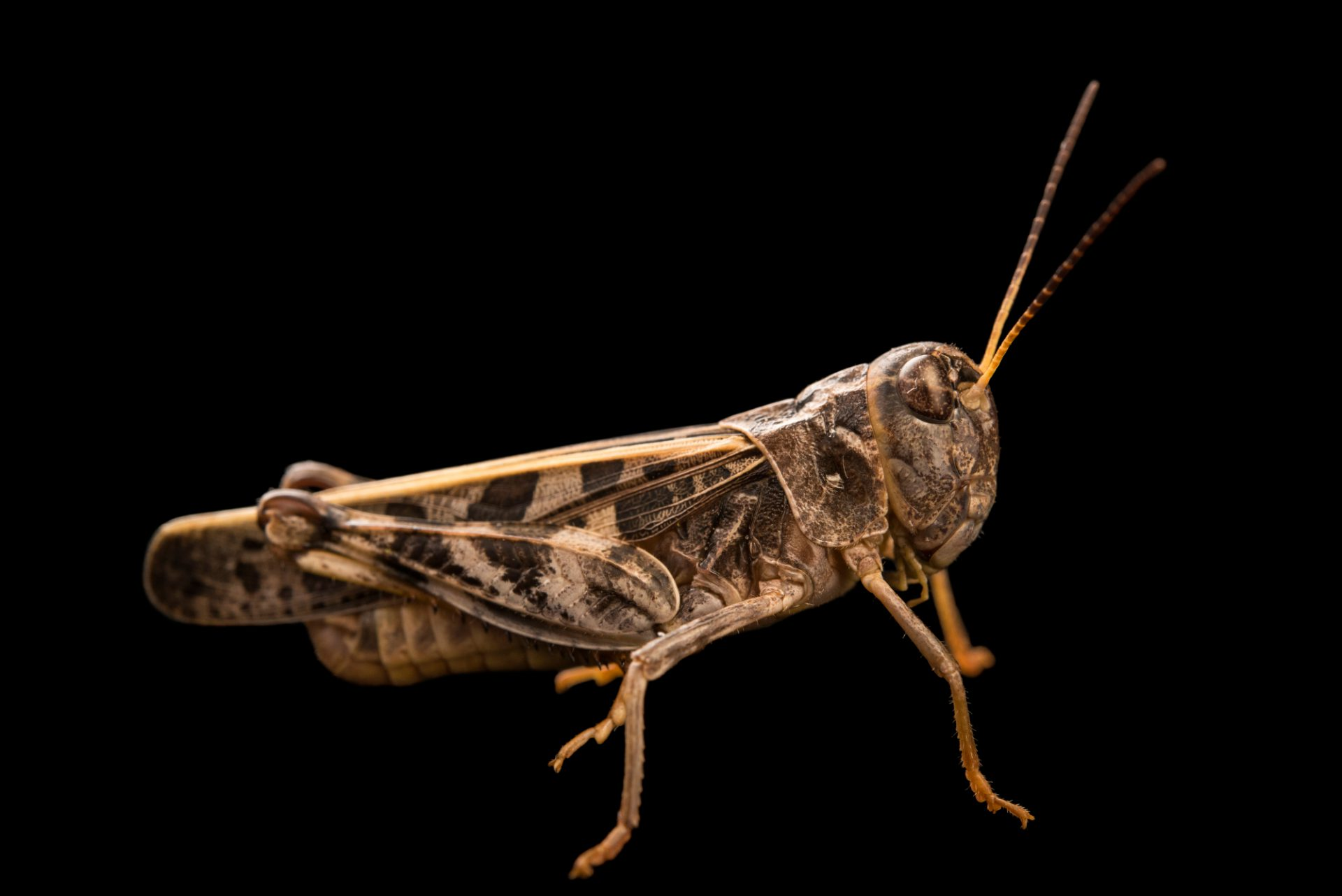 Photo: Wrinkled grasshopper (Hippiscus ocelote) at Cedar Point Biological Station.