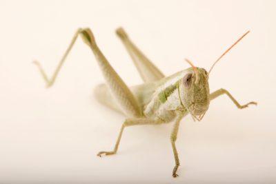 Photo: Cudweed grasshopper or mugwort grasshopper (Hypochlora alba) at Cedar Point Biological Station.
