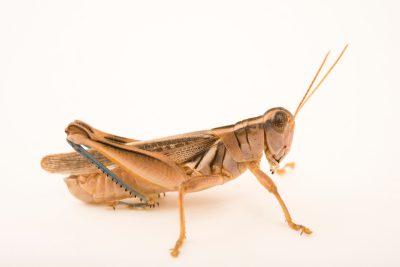 Photo: Yellowish spur-throat grasshopper (Melanoplus flavidus) at Cedar Point Biological Station.