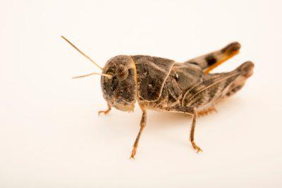 Photo: A juvenile ebony grasshopper (Boopedon nubilum) at Cedar Point Biological Station.