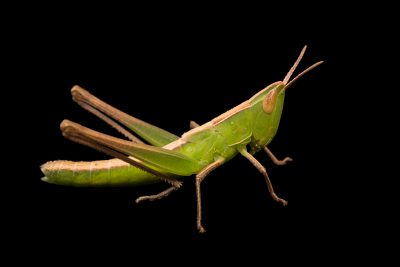An admirable grasshopper (Syrbula admirabilis) at Cedar Point Biological Station.