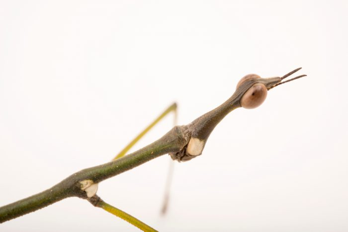 Horsehead grasshopper (Stiphra sp.) at the Bugarium at the Albuquerque BioPark.
