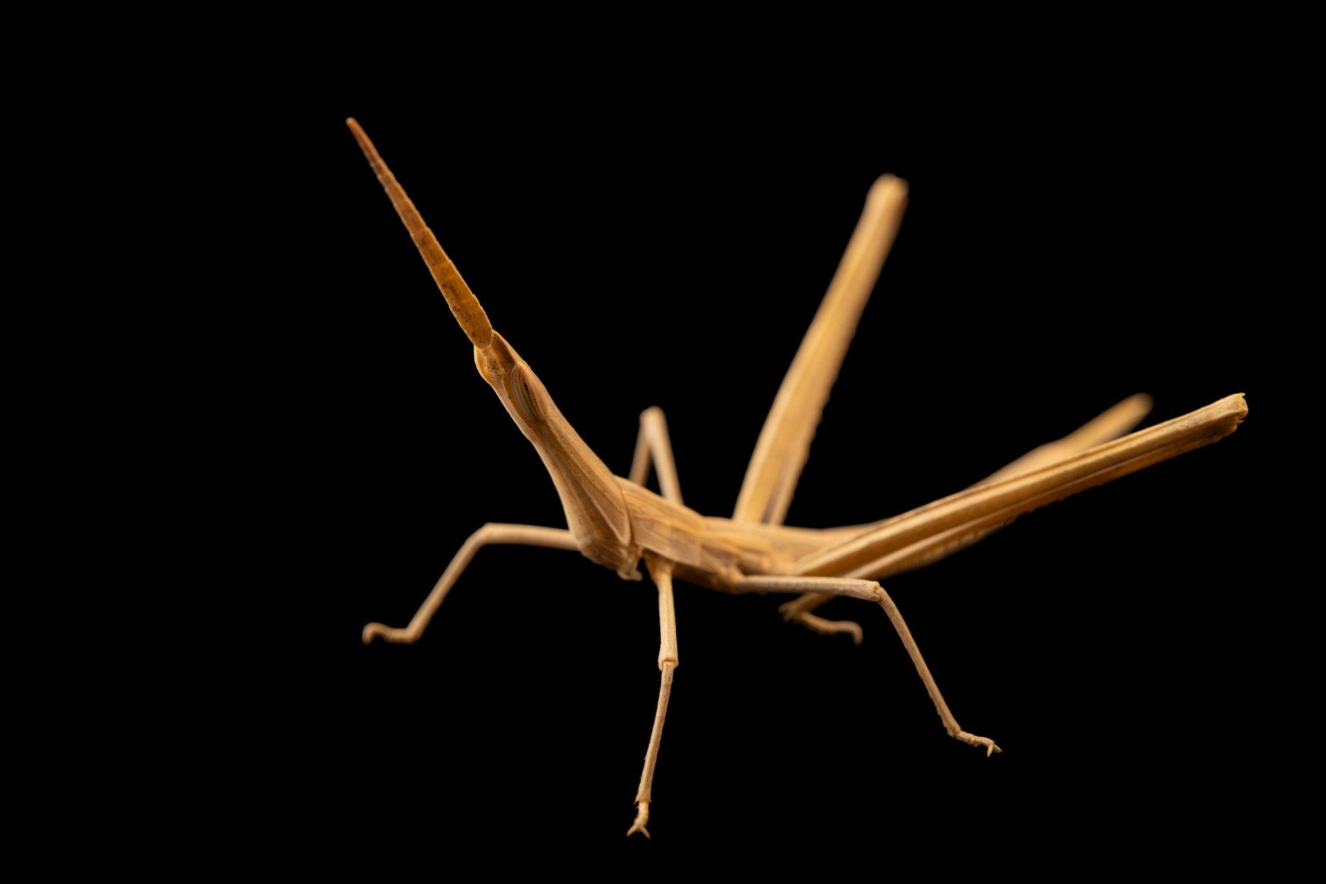Photo: Grasshopper nymph (Acrida sp.) at Graham's Quinta dos Malvedos Vineyard.