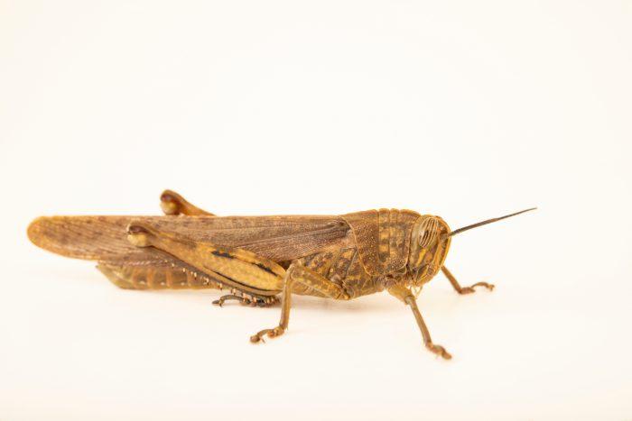 Photo: Egyptian grasshopper (Anacridium aegyptium) at Graham's Quinta dos Malvedos Vineyard.