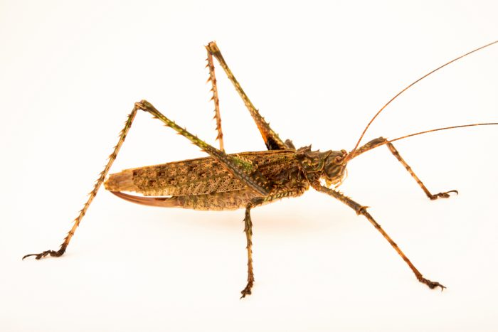 Photo: Spiny forest katydid (Phricta spinosa) from the Melbourne Museum