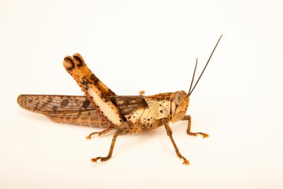 Photo: Giant grasshopper (Valanga nigricornis insularis) from the Melbourne Museum