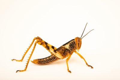 Photo: Giant grasshopper (Valanga nigricornis insularis) from the Melbourne Museum