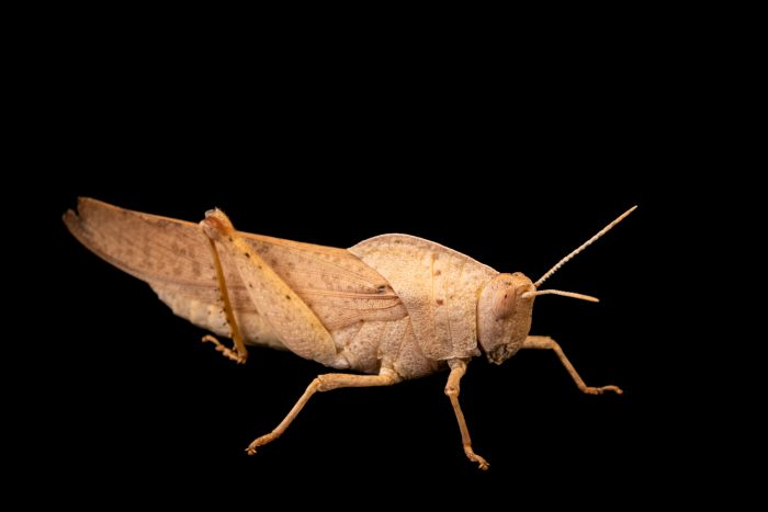 Photo: Gumleaf Grasshopper (Goniaea australasiae) from the Melbourne Museum