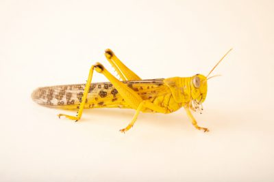 Photo: Desert locust (Schistocerca gregaria) at the Moscow Zoo.