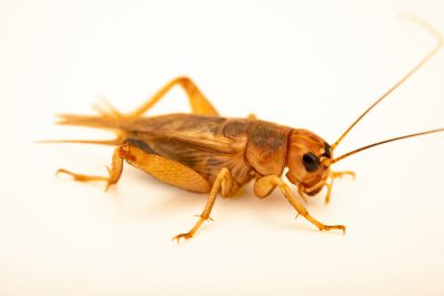Photo: Field cricket (Gryllus assimilis) at Wroclaw Zoo.