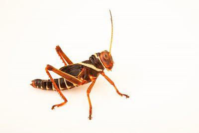 Photo: Juvenile Giant South American grasshopper (Tropidacris violaceus) at Wroclaw Zoo.