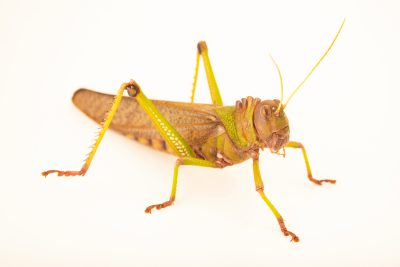Photo: Giant South American grasshopper (Tropidacris violaceus) at Wroclaw Zoo.