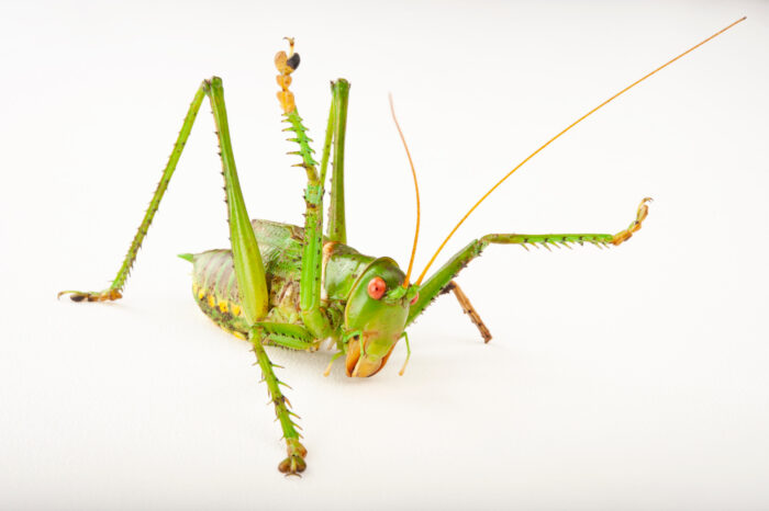 Photo: Greater-arid plains katydid (Neobarrettia spinosa) at the Insectarium in New Orleans.