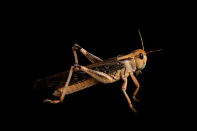 Photo: A desert locust (Schistocerca gregaria) at the Prague Zoo.