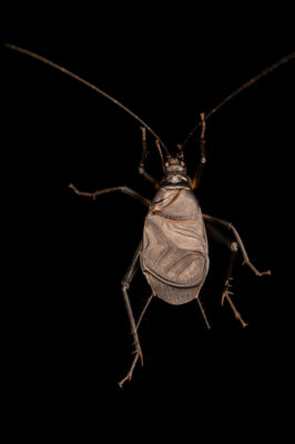 Photo: A bell cricket (Meloimorpha japonica) at Aquarium Berlin.