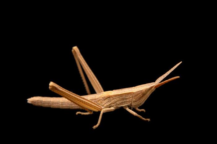 Photo: A short-winged toothpick grasshopper (Pseudopomala brachyptera), collected at Spring Creek Prairie Audubon Center near Denton, NE.