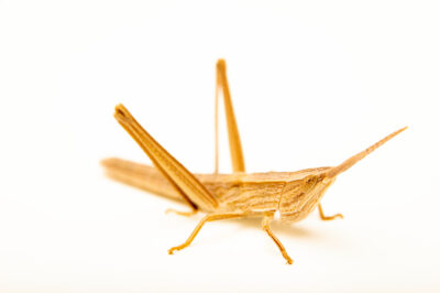 Photo: A short-winged toothpick grasshopper (Pseudopomala brachyptera), collected at Spring Creek Prairie Audubon Center near Denton, NE.