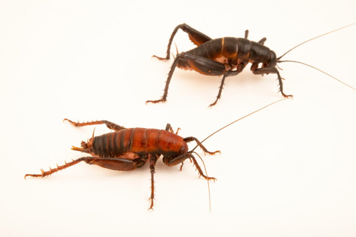 Photo: Two robust camel crickets (Udeopsylla robusta) the Audubon Insectarium, part of the Audubon Nature Institute.