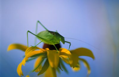 Photo: A katydid in virgin prairie in Southeast Nebraska.