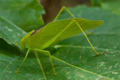 Photo: A katydid sits on a vine leaf in Nebraska.