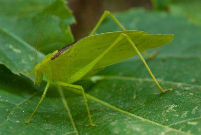 Photo: A katydid sits on a vine leaf in Nebraska.