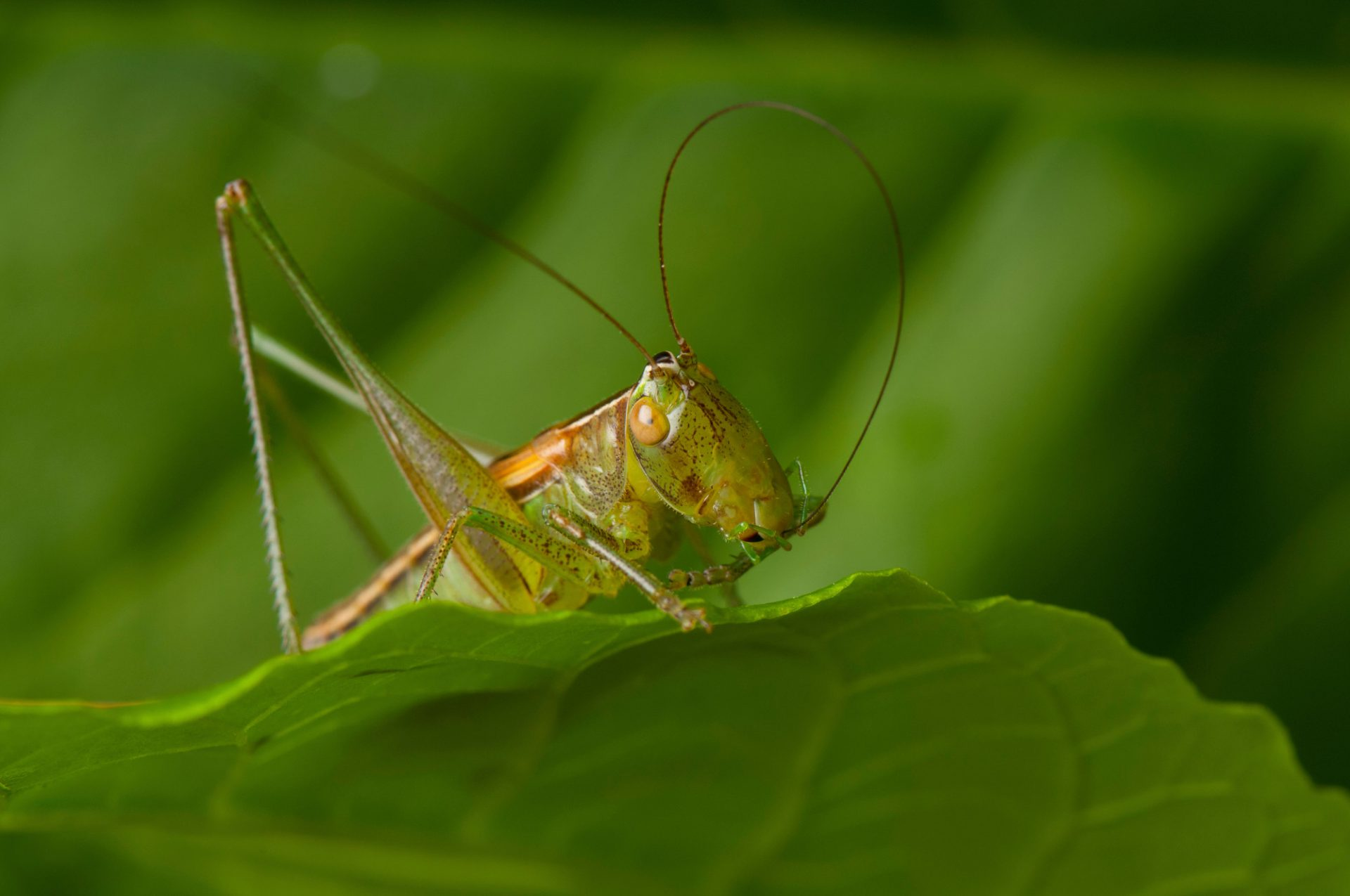 Photo: A gladiator meadow katydid (Orchelimum gladiator) found at Spring Creek Prairie near Denton, Nebraska.