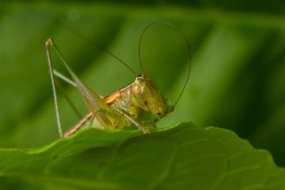 Photo: A gladiator meadow katydid (Orchelimum gladiator) found at Spring Creek Prairie near Denton, Nebraska.