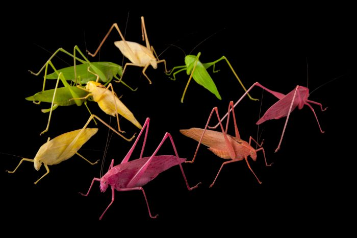 Oblong-winged katydids (Amblycorypha oblongifolia) at the Insectarium in New Orleans. These color variants are found in nature, though anything but green is usually eaten by predators immediately. The Insectarium has been a leader in breeding these color variants for display in the zoo community.