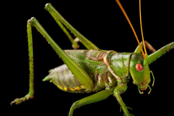 Photo: Greater arid-land katydid (Neobarrettia spinosa) at the Audubon Insectarium in New Orleans.