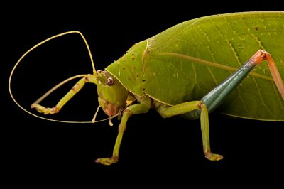 Sylvan katydid (Zabalius ophthalmicus) collected at Chitengo Camp in Gorongosa National Park.