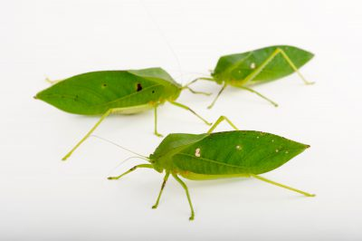 Picture of hooded katydids (Phyllophorella queenslandica) at Wild Life Sydney Zoo.