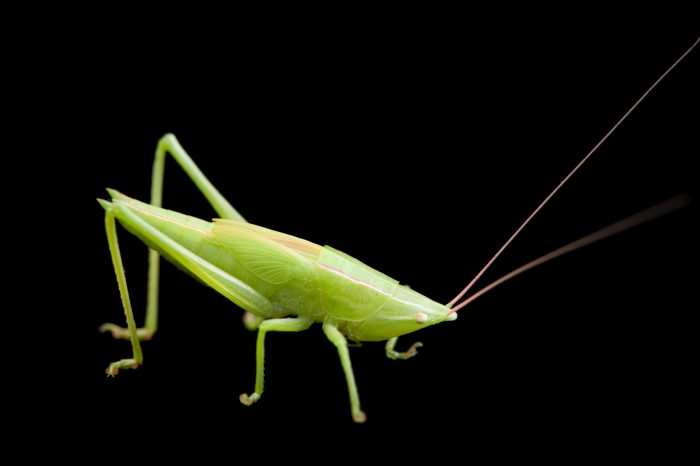 Photo: Nymph of the conehead katydid (Neoconocephalus sp.) from Dieken Prairie near Undadilla, Nebraska.