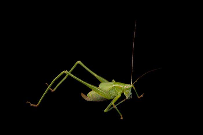 Nymph of the fork-tailed katydid (Scudderia furcata) from Dieken Prairie near Undadilla, Nebraska.