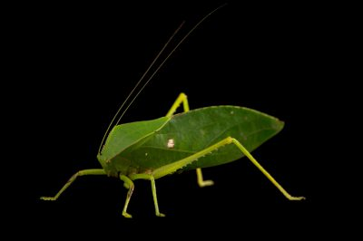 Picture of a small hooded katydid (Phyllophorella queenslandica) at the Wild Life Sydney Zoo.