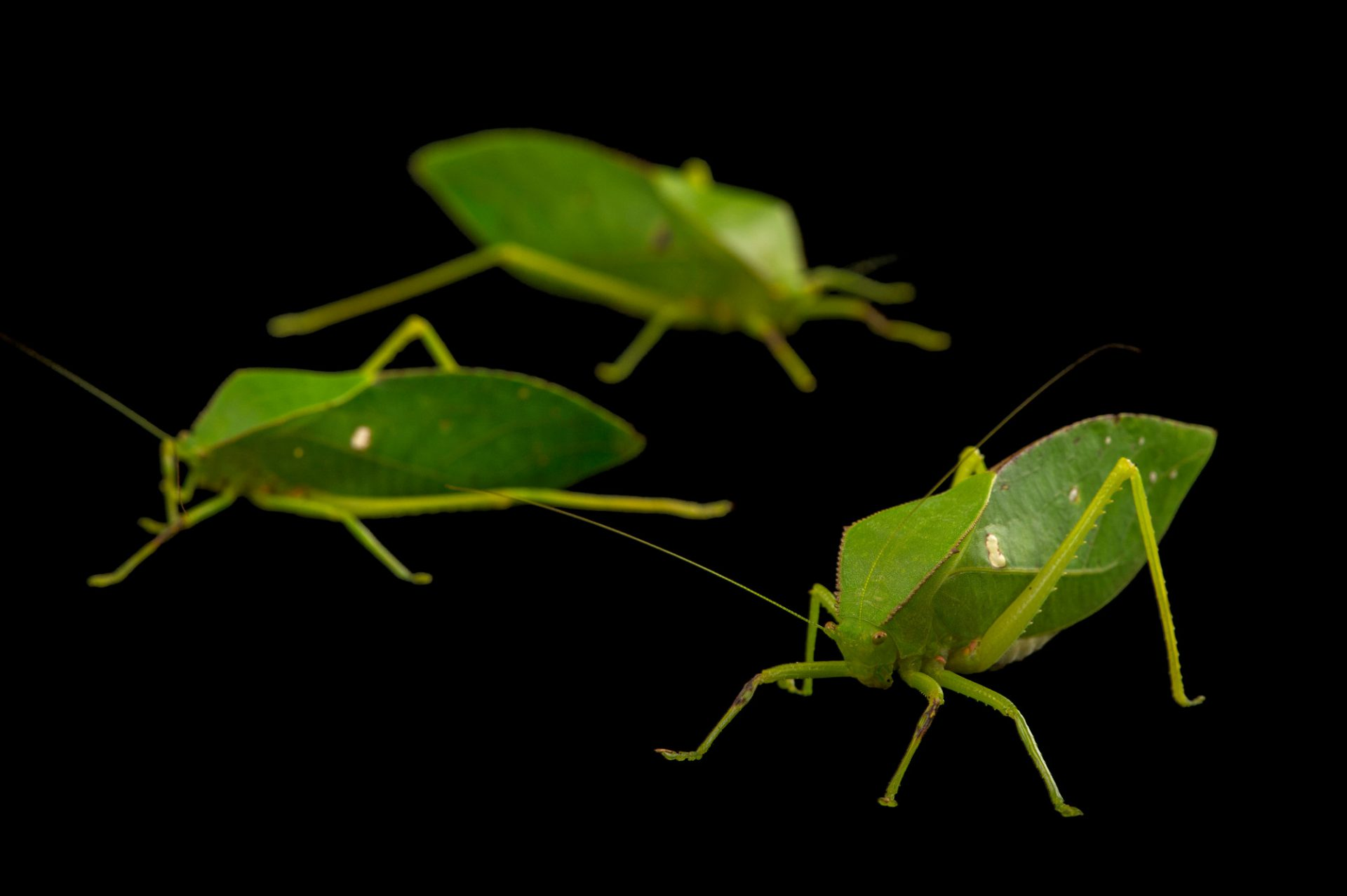 Picture of small hooded katydids (Phyllophorella queenslandica) at the Wild Life Sydney Zoo.