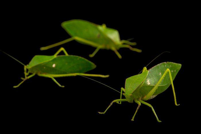 Picture of small hooded katydids (Phyllophorella queenslandica) at the Wild Life Sydney Zoo.