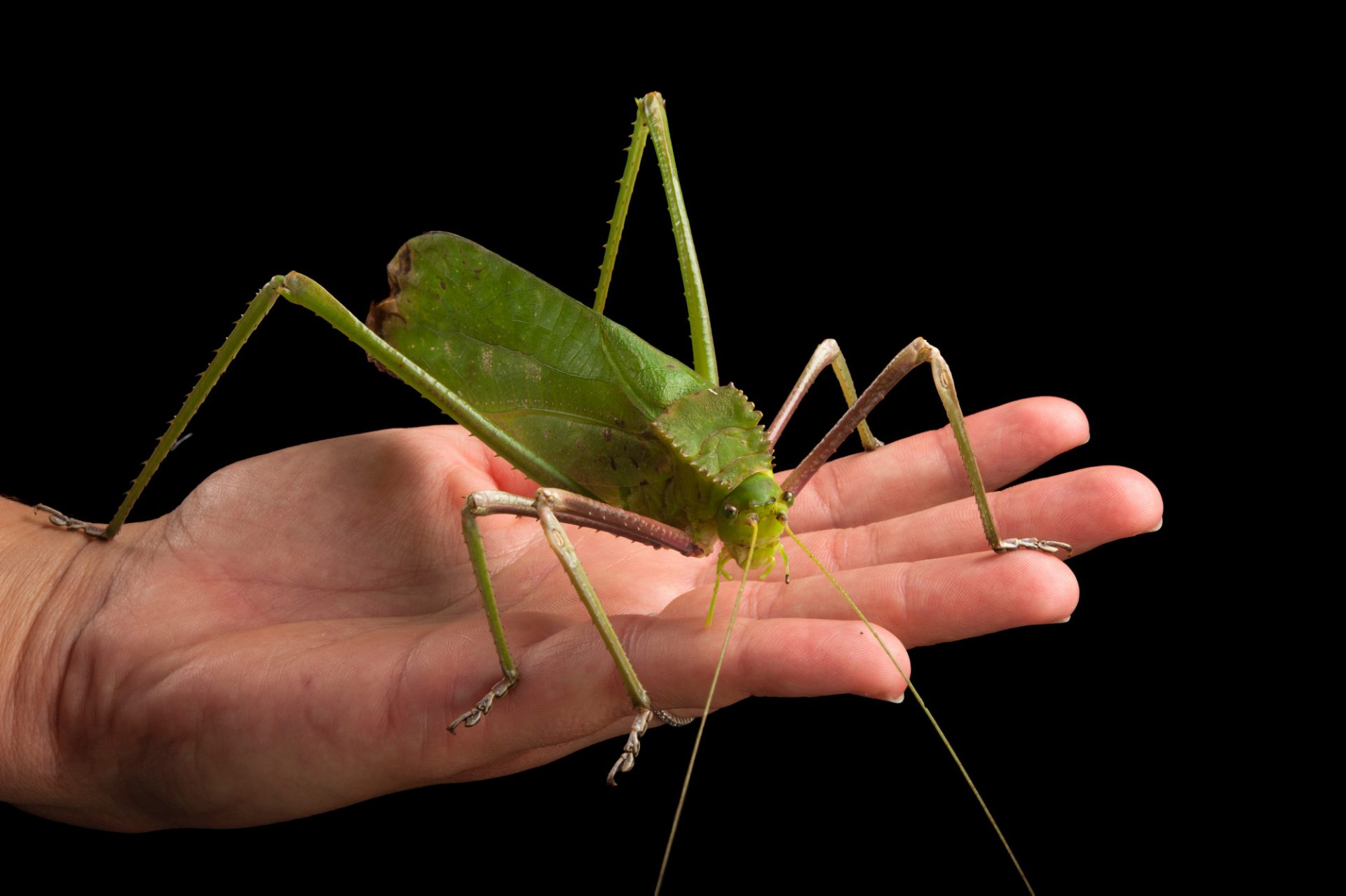 A giant Malayan katydid (Macrolyristes corporalis) at the Omaha Henry Doorly Zoo, Omaha, Nebraska.