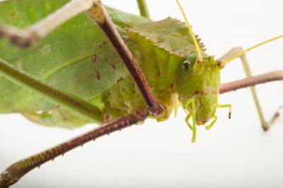 A giant Malayan katydid (Macrolyristes corporalis) at the Omaha Henry Doorly Zoo, Omaha, Nebraska.